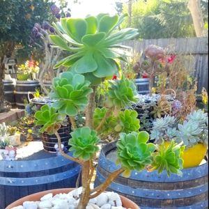 Aeonium tree